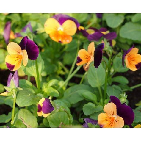 viola seeds viola plants buy perennial viola flower