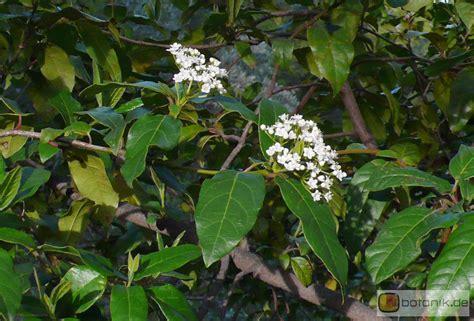 Schneeball Garten by Viburnum Tinus Immergr 252 Ner Schneeball Garten Pflanzen Blumen Gartenbetriebe G 228 Rtnereien