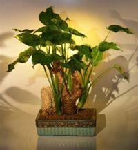 alocasia cucullata buddha s first lily chinese taro plant indoor chinese taro bonsai tree alocasia cucullata