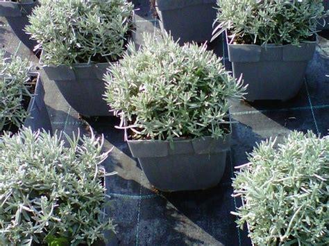 pianta di liquirizia in vaso elicriso liquirizia aromatiche elicriso liquirizia orto