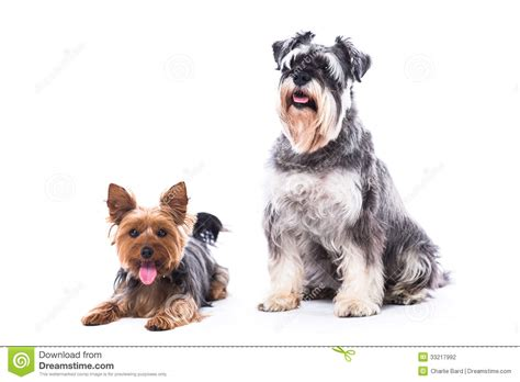 are yorkies family dogs loyal family dogs stock photography image 33217992