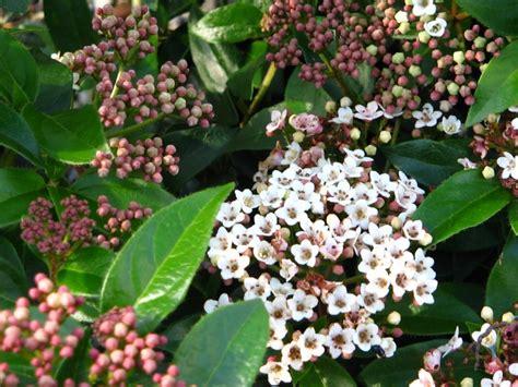 evergreen shrub white flowers shrubs for winter colour news ardcarne garden centre