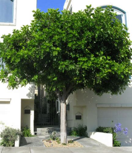 carrot wood drought tolerant trees san diego