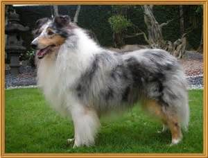 Ch collie rough available for sale adoption from western singapore