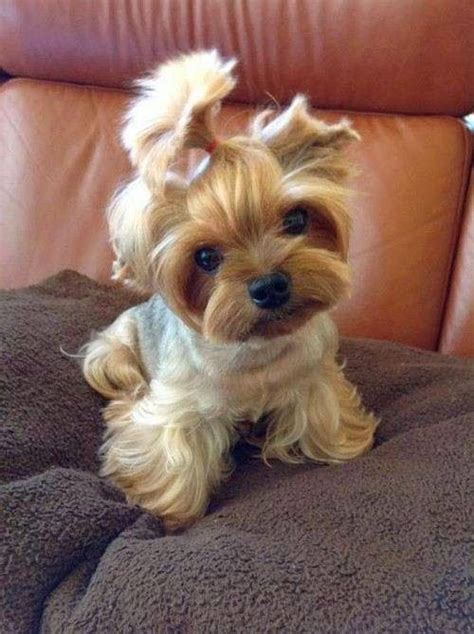 why is my yorkie throwing up best 25 teacup yorkie ideas on yorkie teacup puppies yorkie puppies and