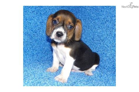 beagle puppies for free beagle puppies for sale dogs puppies for sale with free breeds picture