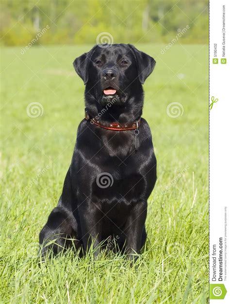 imagenes labrador negro retrato negro del perro perdiguero de labrador positio