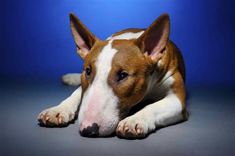 paw bleeding bleeding paws in dogs symptoms causes diagnosis treatment recovery management cost