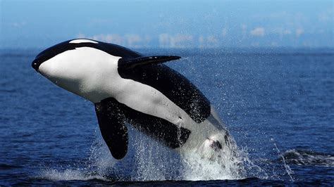 killer whale image gallery orcas