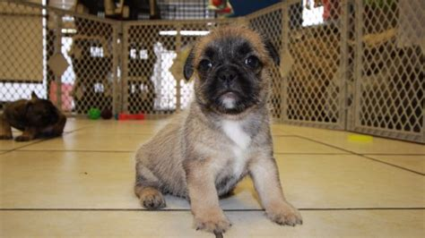 shih tzu for sale in columbia sc choice fawn bullshih puppies for sale in ga at puppies for sale local breeders
