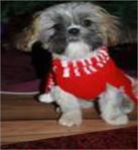 shih tzu grown up playfulpupsforyou past pictures page in sc