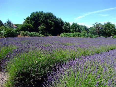 Home Plants Jersey Lavender Farm A