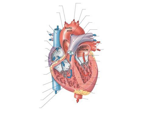 sectional anatomy of the heart anatomy of the human heart frontal section