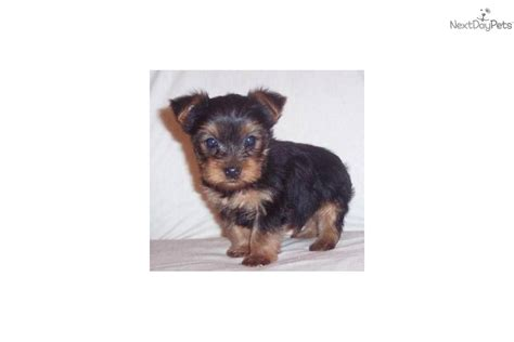yorkie puppies for sale pa teacup yorkie puppies for adoption in pa clinic breeds picture