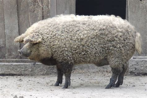 the sheep pig mutant the sheep pig incredible things