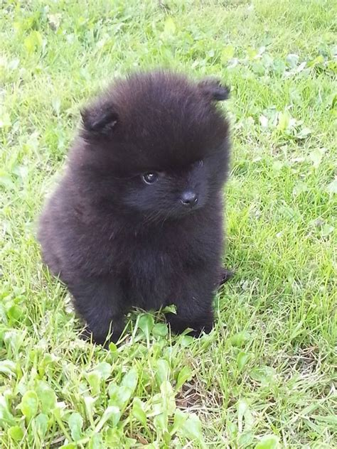 black pomeranian puppies black pomeranian puppy kc pedigree ready now boston