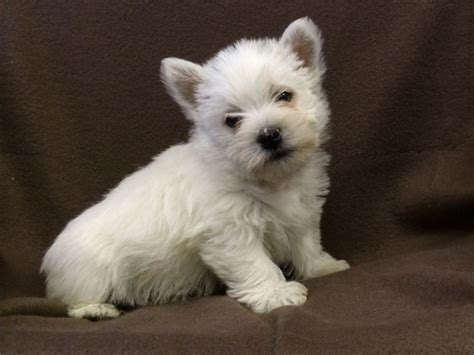 white terrier puppies west highland white terrier puppies for sale car interior design