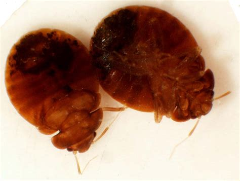 Bat Bugs Vs Bed Bugs by Cimicidae