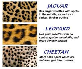 Are Leopards And Jaguars The Same Difference Between Leopard And Jaguar Big Cats A