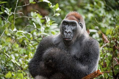 Amazing Facts about the Cross River Gorilla ...