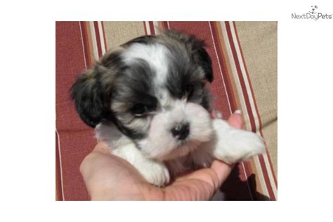 maltipoo puppies for sale in ky maltipoo puppies for sale kentucky breeds picture breeds picture