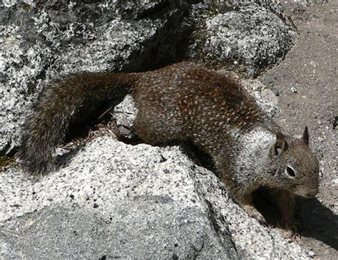 california ground squirrel life expectancy