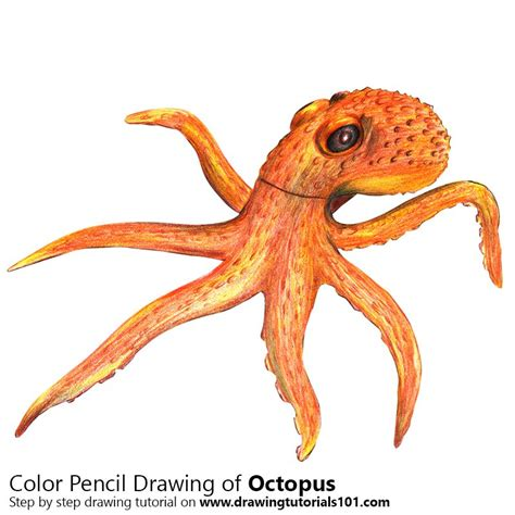 octopus color octopus colored pencils drawing octopus with color