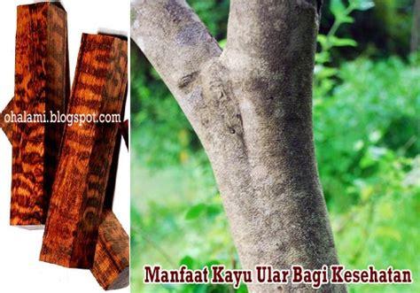 Kayu Ular Uh Mengontrol Gula Darah manfaat tumbuhan khasiat kayu ular bagi kesehatan