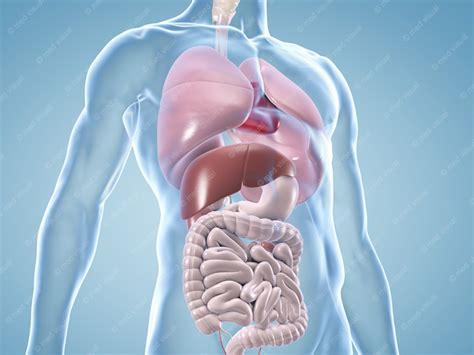 Anatomie Menschlicher Organe