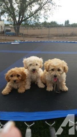 puppies for sale in mesa az maltipoo puppies for sale in mesa arizona classified americanlisted