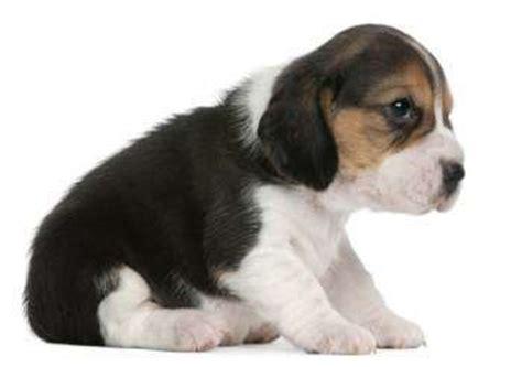 3 week puppy beagle information center baby beagle