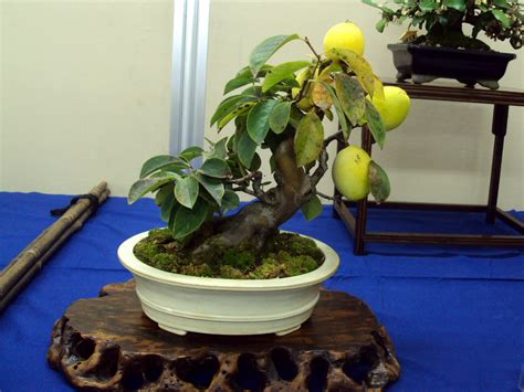 fruit bearing bonsai tree bonsai trees married and moved to japan