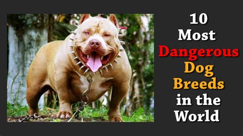 top 10 dangerous dog breeds in the world top 10 most dangerous dog breeds in the world youtube