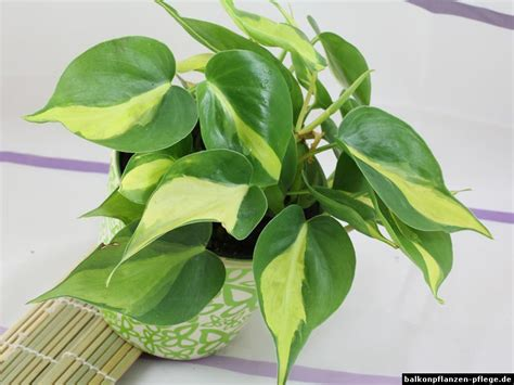 Aglaonema kletterpiholodendron philodendron hederaceum scandens
