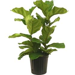 home depot indoor plants amanda rapp design loving fiddle leaf fig house plants