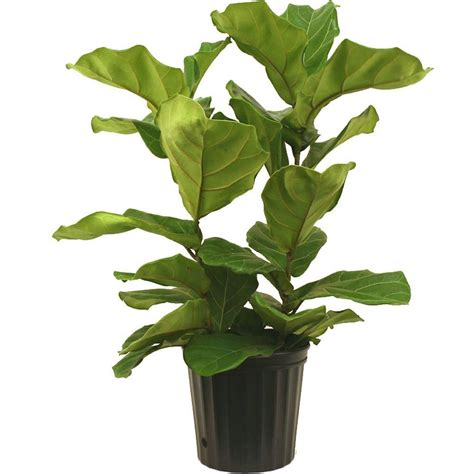 indor plants amanda rapp design loving fiddle leaf fig house plants
