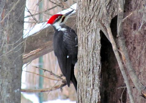 the pileated woodpecker in the hills