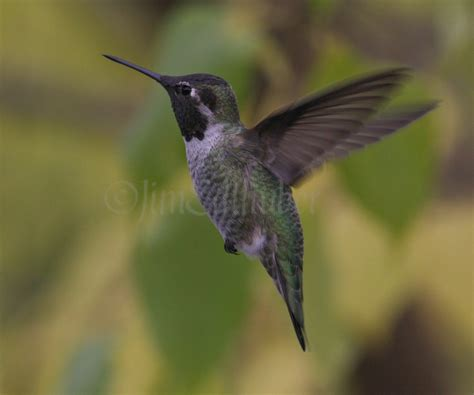 anna s hummingbird in sauk county wisconsin on october 21