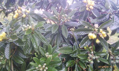 fruit trees adelaide forum loquat plant