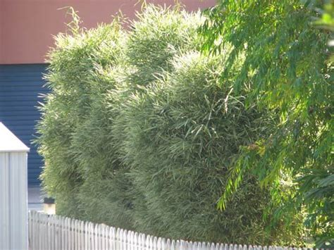 best plants for privacy fence variegated malay dwarf