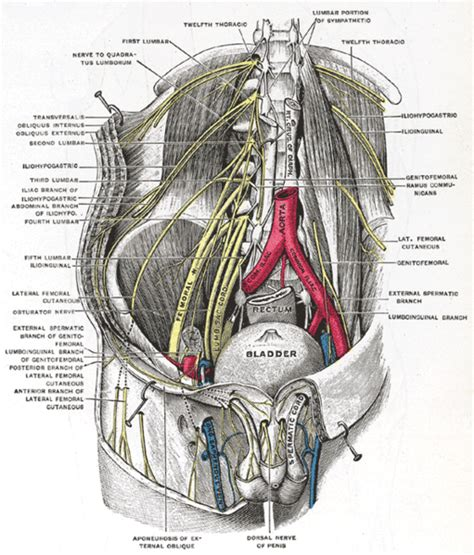 clitorous diagram anatomy by411