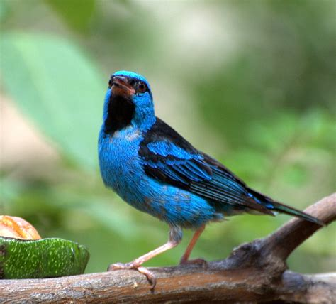 blue dacnis male buy dead birds for taxidermy