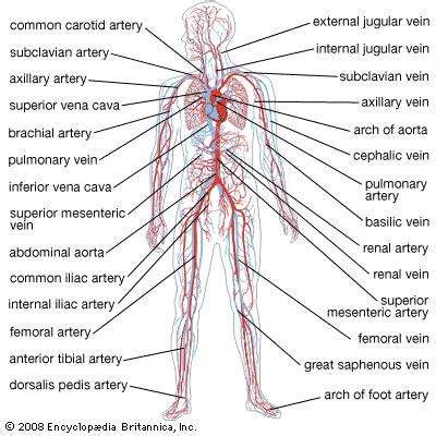 vein pattern meaning circulatory system anatomy britannica com