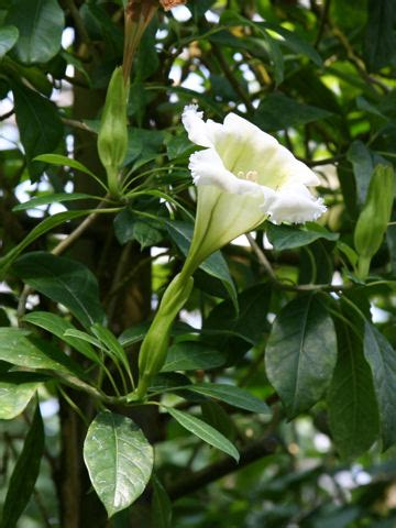 solandra grandiflora wikispecies