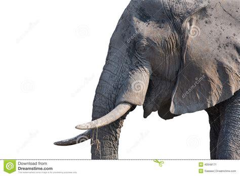 Tete Elephant Profil by Elephant On White Stock Image Image Of Profile