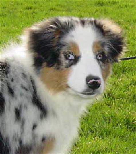 australian shepherd husky mix puppies for adoption australian shepherd husky mix australian shepherd rescue images breeds picture