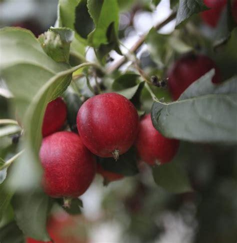 types of apple trees www imgkid com the image kid has it