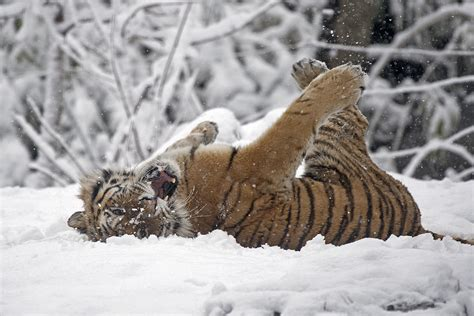 animals in the winter snowscapes show wonder of animals in winter