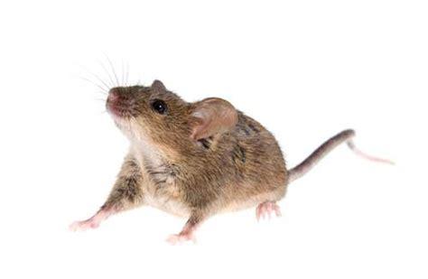 huis muis bpi controle de huismuis