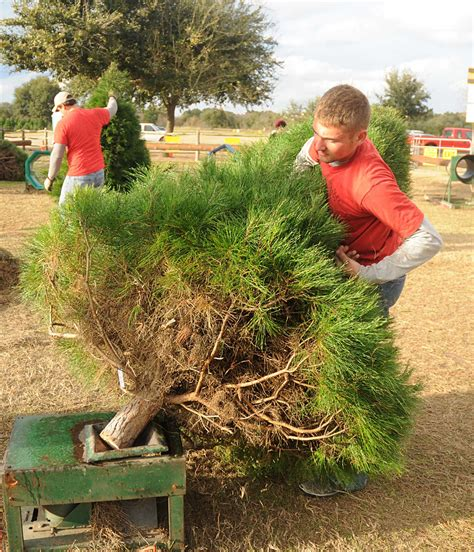farms offer option in hunt for christmas trees houston